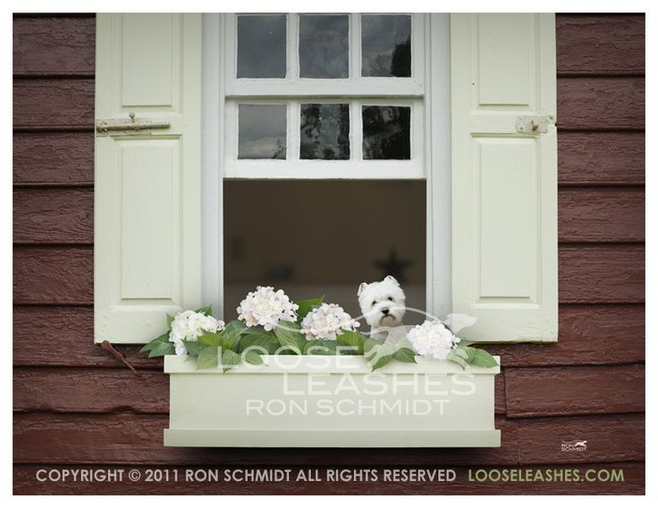 Posy the Westie by Ron Schmidt at Loose Leashes: Dogs Photographers, Loo Leash, Dogs Photography, Witty Dogs, Leash Start, Sweet Photo, Ron Schmidt, Dogs Portraits, Window Boxes