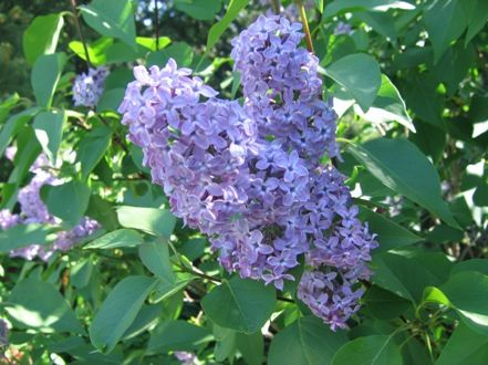 Gardening and Gardens: Why Lilacs Don't Bloom