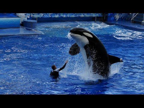 Sea World Anuncia el FIN del Espectáculo de Orcas Asesinas ¡Las Protestas Sirvieron! - http://soynn.com/2016/03/08/sea-world-anuncia-el-fin-del-espectaculo-de-orcas-asesinas-las-protestas-sirvieron/