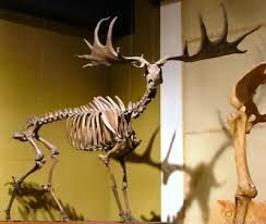Image result for irish elk found in irish bogs where