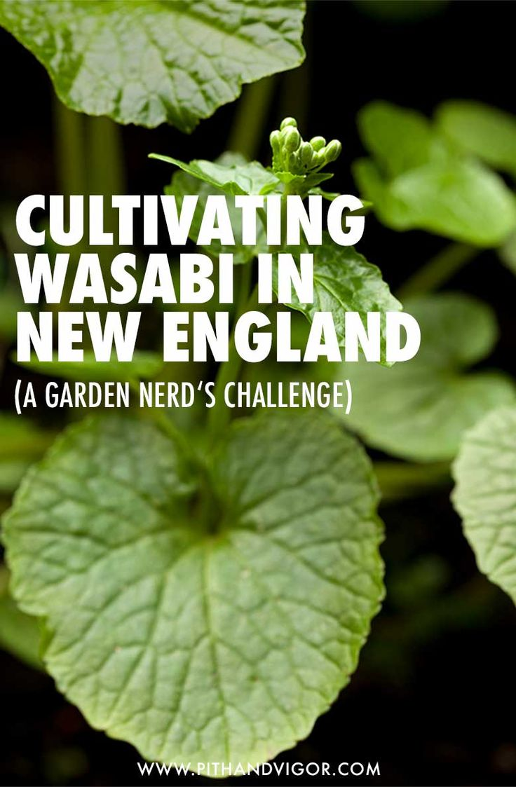cultivating wasabi in new england