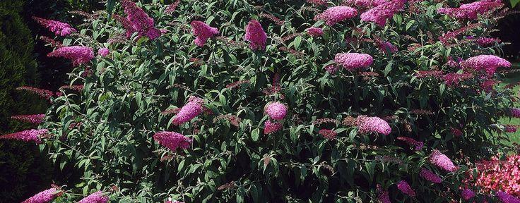 Buddleja davidii 'Summer Beauty', Schmetterlingsstrauch, Sommerflieder - Pflanzen für unsere Gärten