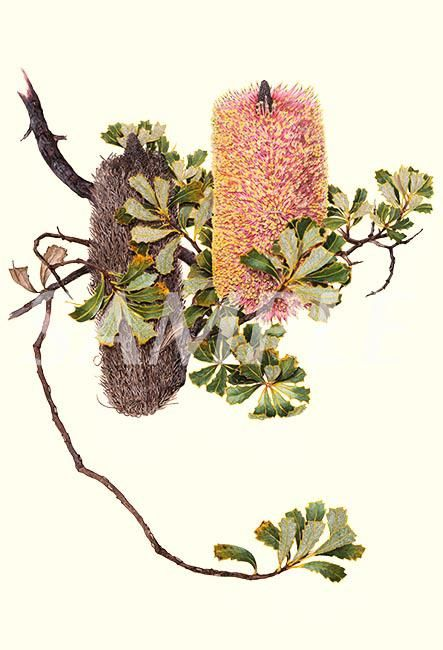 Cut-leaf Banksia Two | Philippa Nikulinsky