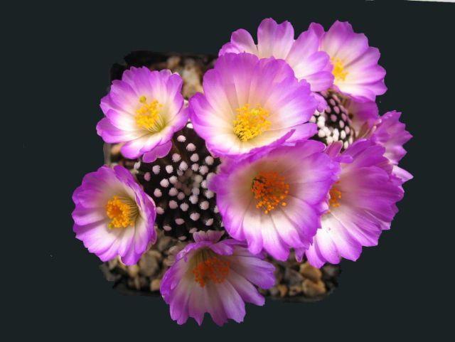 Mammillaria luethyi - Foto: Paul