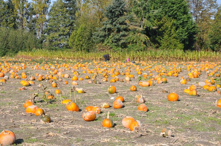 Pumpkin Patch: Richmond Country Farms has your Jack-o-Lantern - Vancouver Mom