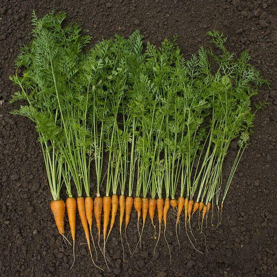 Verwendet man zum Kochen Karotten, so schneidet man sie meist klein und schneidet den Karottenkopf, auf dem manchmal noch das Grün der Karotte hängt, ab. Diese Karottenköpfe muss man nicht wegwerfen!  Es gibt mehrere Möglichkeiten, wie man diese Karottenküpfe neu pflanzen kann und so entstehen leckere, neue Karotten! Der Karottenkopf sollte etwa 1-2 fingerbreit sein und das Grün sollten Sie entfernen.