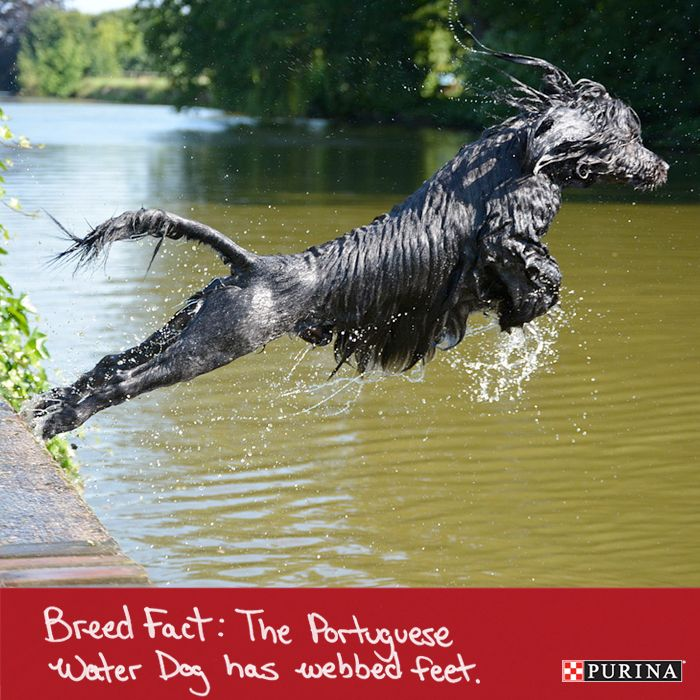 Dog fact: Portuguese Water Dogs love swimming! Find out if this active dog breed is right for you at Purina.com.