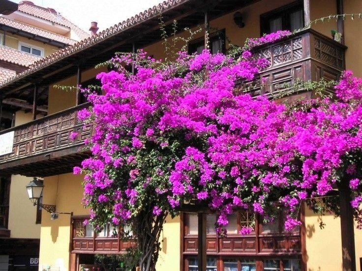 Primavera de Flores Roxas - Jardim Exótico - O maior portal de mudas do Brasil.