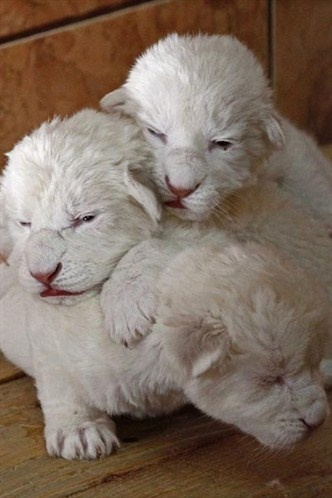 Filhotes de leão albino são fotografados em Belgrado na Sérvia (© Reuters)