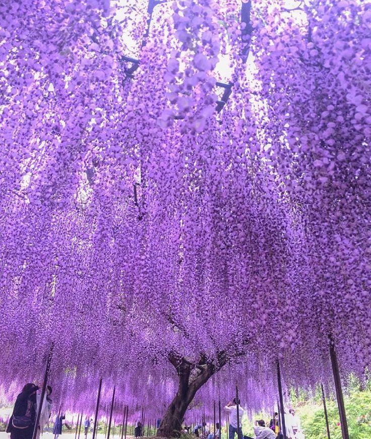 обставить лиловое дерево фото шагом