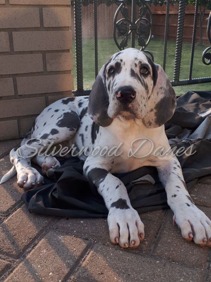 Arcane is one of our up and coming future studs. He is a blue Harlequin great Dane! #silverwoodgreatdanes  Check us out on Facebook, instagram @silverwooddanes and  check out our website www.silverwooddanes.webs.com