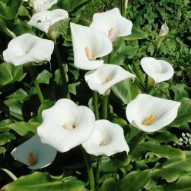 Calla Lily Bulbs For Sale | Buy Flower Bulbs in Bulk & Save