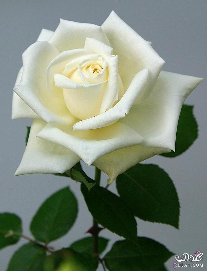صور ورد ابيض صور زهور بيضاء بوكيه ورد ابيض Rose Flower White Roses Rose