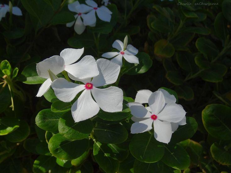 Chwile zaChwycone: Katarantus różowy bywa biały