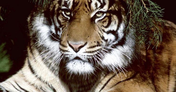 Pintura facial de tigre em dois minutos. O rosto de um tigre é uma pintura facial impactante. Embora existam diferentes variações de design para o tigre, que podem ser escolhidas para pintar um rosto, existe um tigre de visual eficiente, que pode ser pintado em apenas dois minutos, com um pouco de prática. As opções rápidas de pintura facial são muito úteis quando se tem uma fila de ...