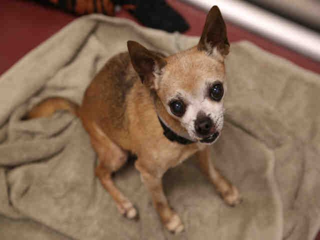 Chihuahua dog for Adoption in Denver, CO. ADN-482977 on PuppyFinder.com Gender: Male. Age: Senior
