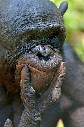 Bonobo (Pan paniscus), portrait, Lola ya Bonobo Sanctuary, Kimwenza, Mont Ngafula, Kinshasa, Democratic Republic of the Congo