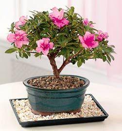 Bonsai azalea.  En bonsai o maseta, puede estar en el interior con sus cuidados correspondientes.  No es propiamente una planta de interior, pero se puede mantener en la época de floración, con la precaución de sacarlas al exterior una vez finalizada la floración.  Colocar en un lugar bien iluminado, pero no al sol.  En interiores debe evitarse el calor seco, pues de otro modo se marchitan en poco tiempo las flores y las hojas.  En el hogar, lo ideal es regar casi a diario mientras está en…