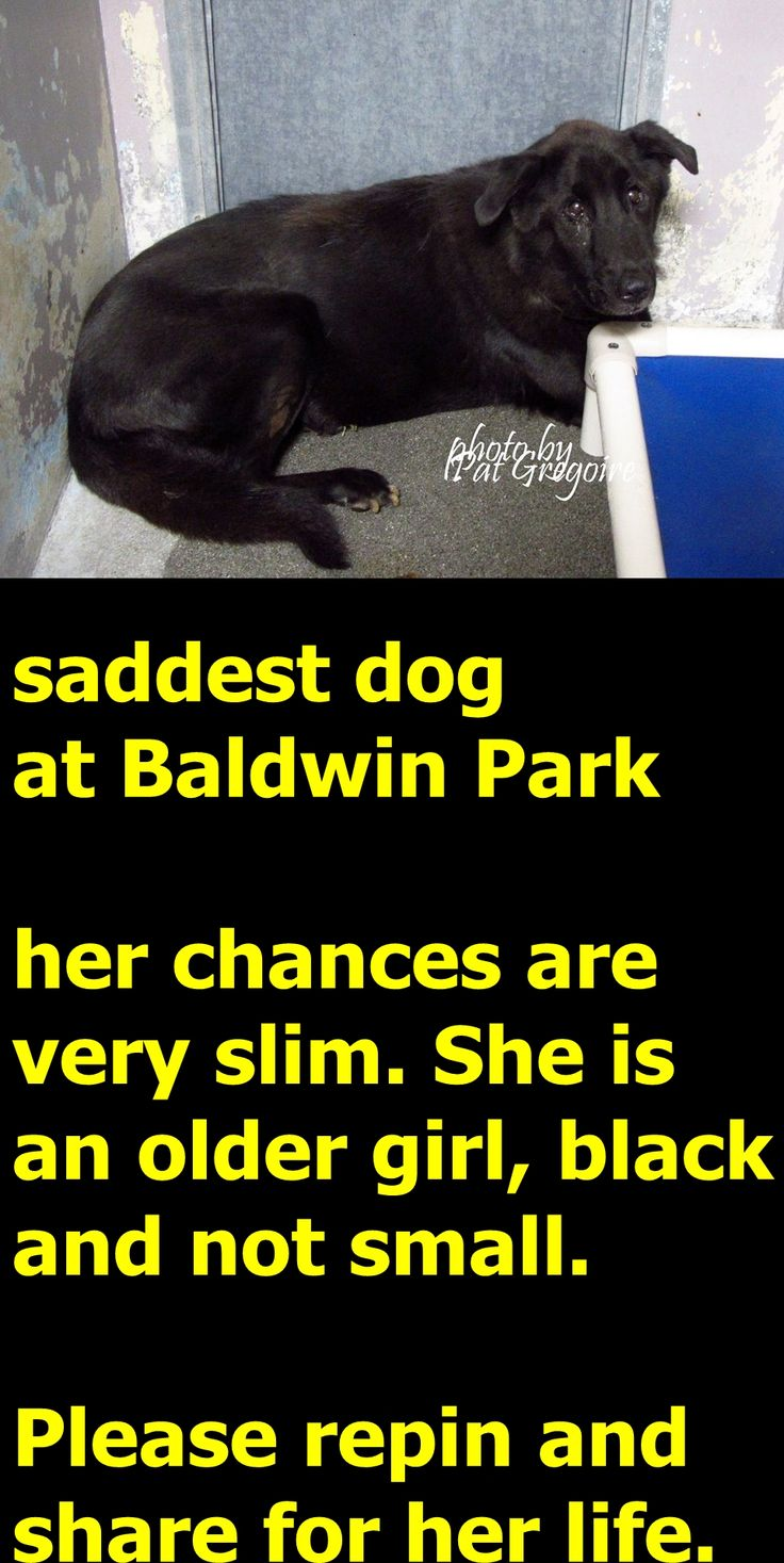 10/24/15-A4665089 My name is Xing Xing. I am a 9 yr old female black Chow/Lab mix. My family left me here on Sept 22. available now. Obviously very overwhelmed and sad and in tears. Baldwin Park shelter https://www.facebook.com/photo.php?fbid=1036481186363718&set=a.705235432821630&type=3&theater