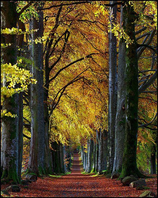 ✯ Autumn Beech Avenue to Drummond Castle gardens, Scotland
