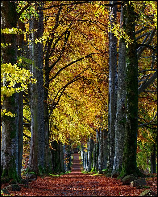 Autumn beech avenue to Drummond Castle, Scotland (by Stuart-Low).reminds me of the artist Sutine also David Hockney