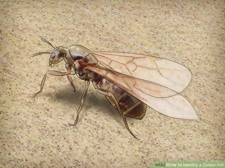 Some queen ants have wings, though they usually get rid of the wings when they are giving birth. The wings make the queen ant very powerful, and to several people it can look like a bee or hornet!