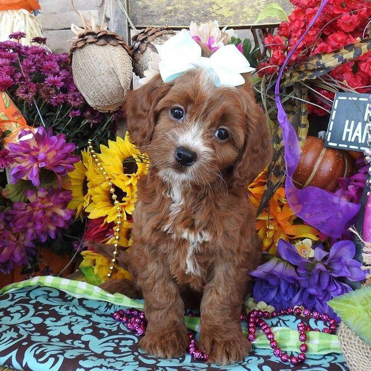 Cavapoo puppies for sale, Cavapoo, Cavapoos, Cavapoo dog, Cavapoo pups, Cavapoo pup, Cavapoos dogs for sale, Cavapoo puppies, Cavapoos for sale, Cavapoo breeder, Cavapoo breeders, Poodle, Baby, Babies