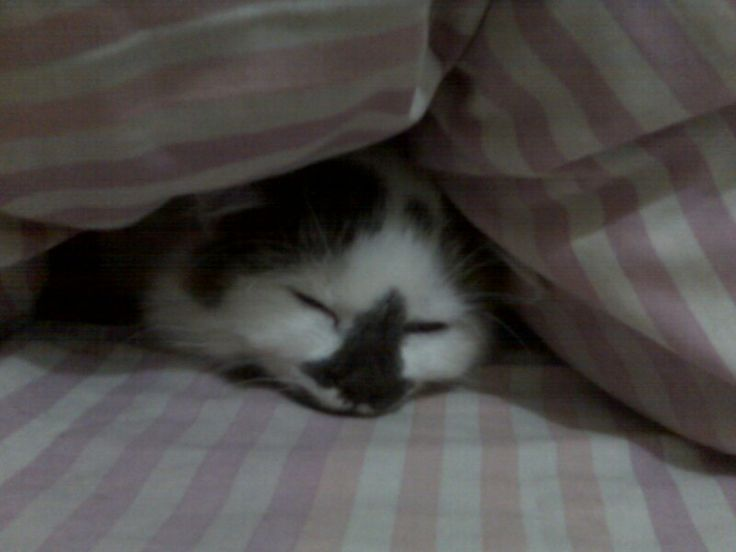 My cat snowbell.. during raining day hiding under my pillow