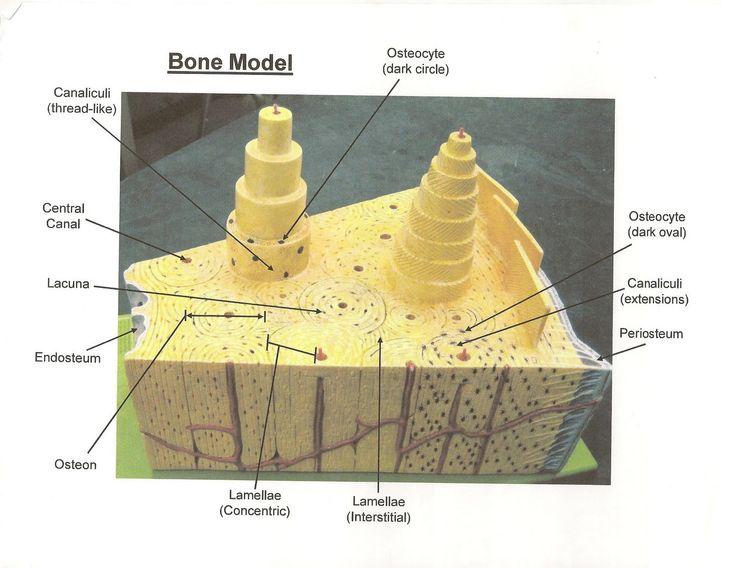 Bone Model Labeled