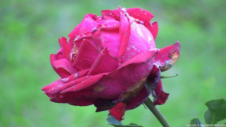 Rose Garden during Rose Show 2014