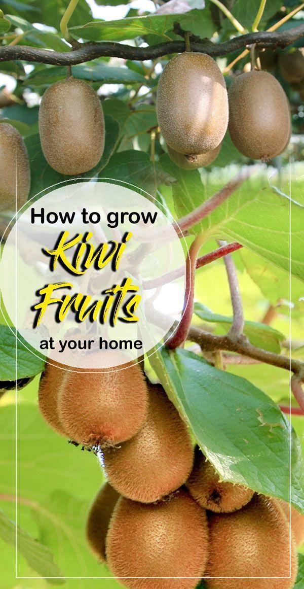 So Zuchten Sie Kiwis In Ihrem Zuhause Wachsende Kiwipflanzen Kiwi Fruchtpflege Naturebring Ihrem Kiwifruchtpfl Kiwi Growing Fruit Bushes Growing Fruit Trees