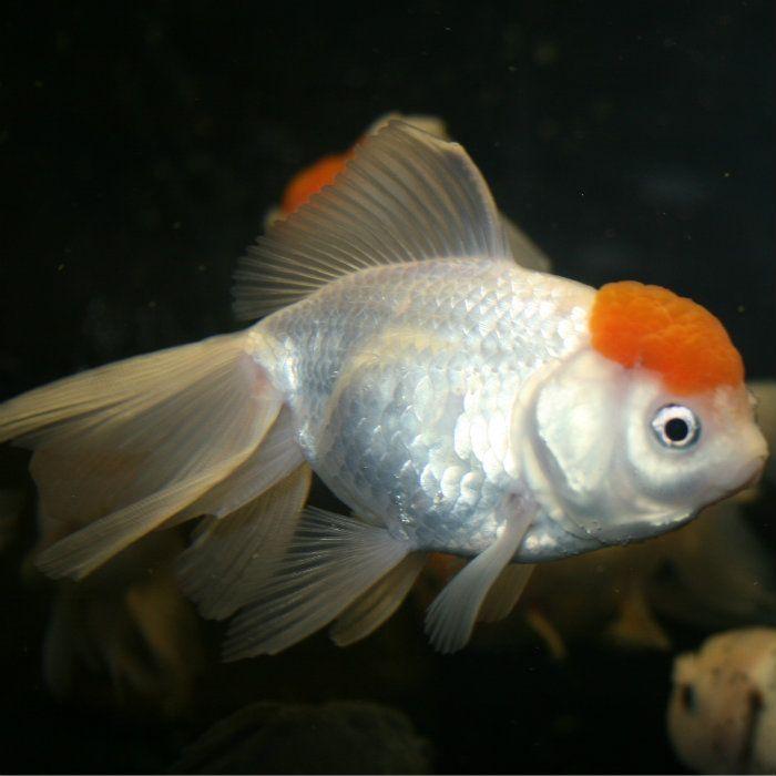 25 best ideas about oranda goldfish on pinterest pretty for Goldfish pond care