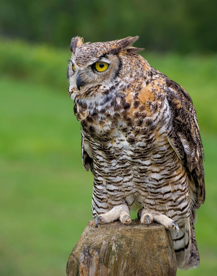 Ready to Go  - This great horned owl was photographed at the Bird of Prey show at Parc Omega, near Montebello Quebec Canada using a Nikon D3s and Nikon 70 to 200 mm Nikon lens