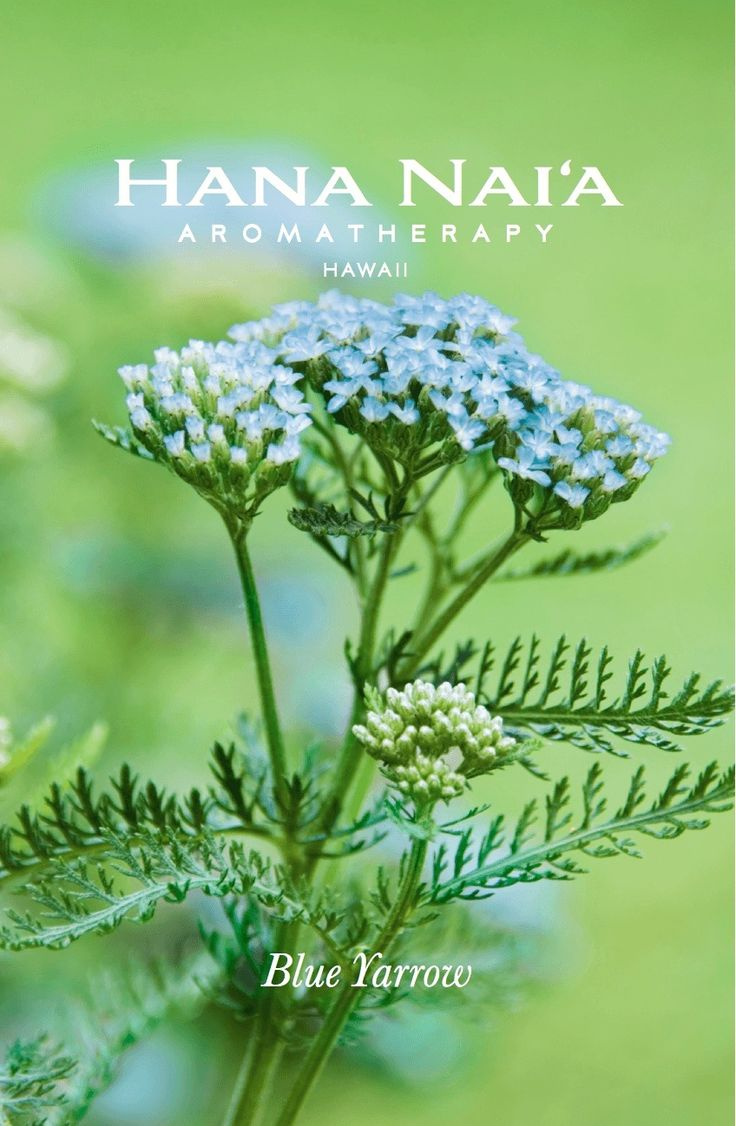 Blue Yarrow Inflammation Reducing Lotion