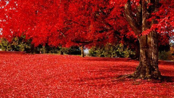 Kırmızı Yapraklar  #wallpaper #yaprak #ağaç #kırmızı #tree #leaf #red