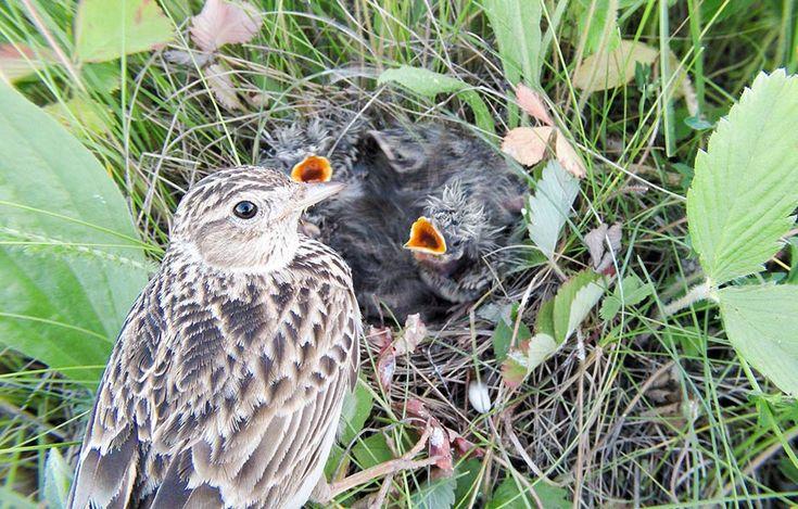 Verlierer: Feldlerche  Selbst die Feldlerche gilt in Deutschland auf der Roten Liste als gefährdet. Ihr ergeht es wie vielen Feld- und Wiesenvögeln: Die Intensivierung der Landwirtschaft ist die Hauptursache für dramatische Verluste in der Vogelwelt. Der Bestand an Rebhühnern ist seit 1980 auf 800.000 Exemplare zurückgegangen (-90 Prozent). Einbußen haben auch Turteltaube (-73 Prozent) und Braunkehlchen (-71 Prozent). Selbst vermeintlich häufige Arten wie Star und Feldsperling gingen um die…