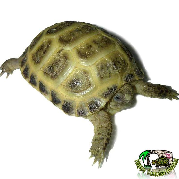healthy young horsfield tortoise for sale UK also known as russian tortoise or Agrionemys horsfieldii