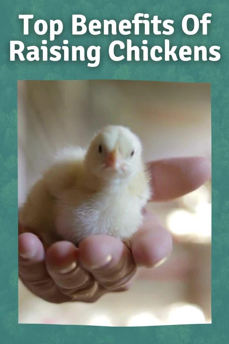 The Benefits Of Raising Chickens - Eco Peanut [Video ...