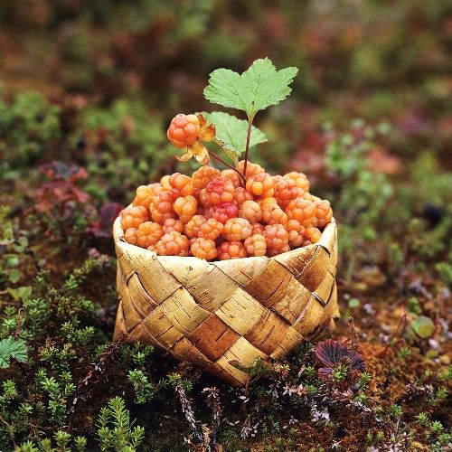 Cloudberries in birch bark basket.