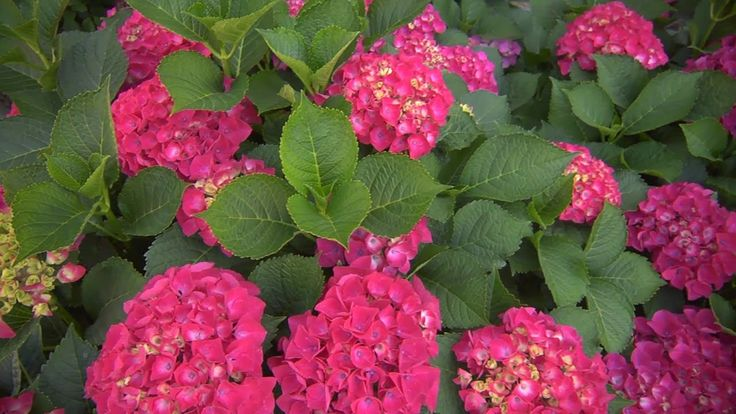 growing hydrangeas at home with p allen smith