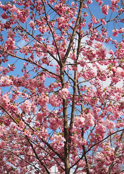 Japanese flowering cherry tree with pink blossom in spring. The best trees for small gardens