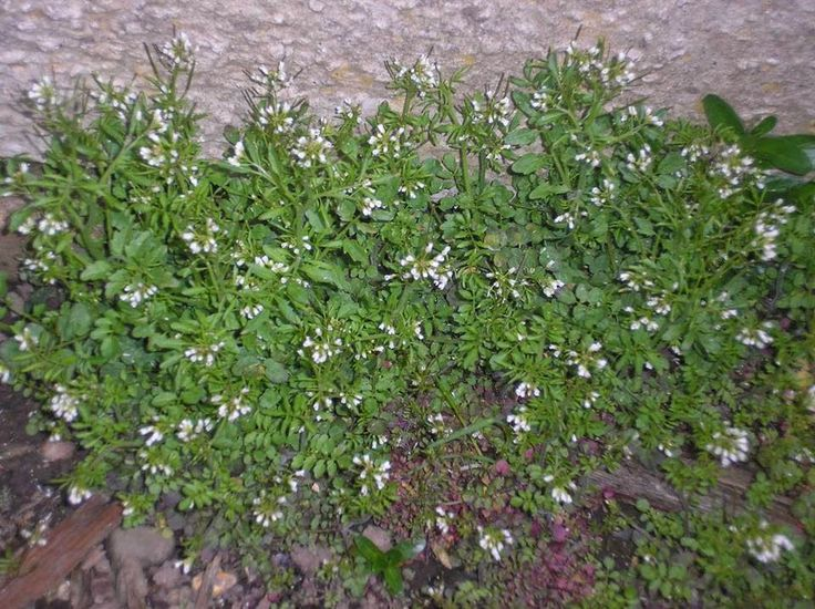 The uses for hairy bittercress