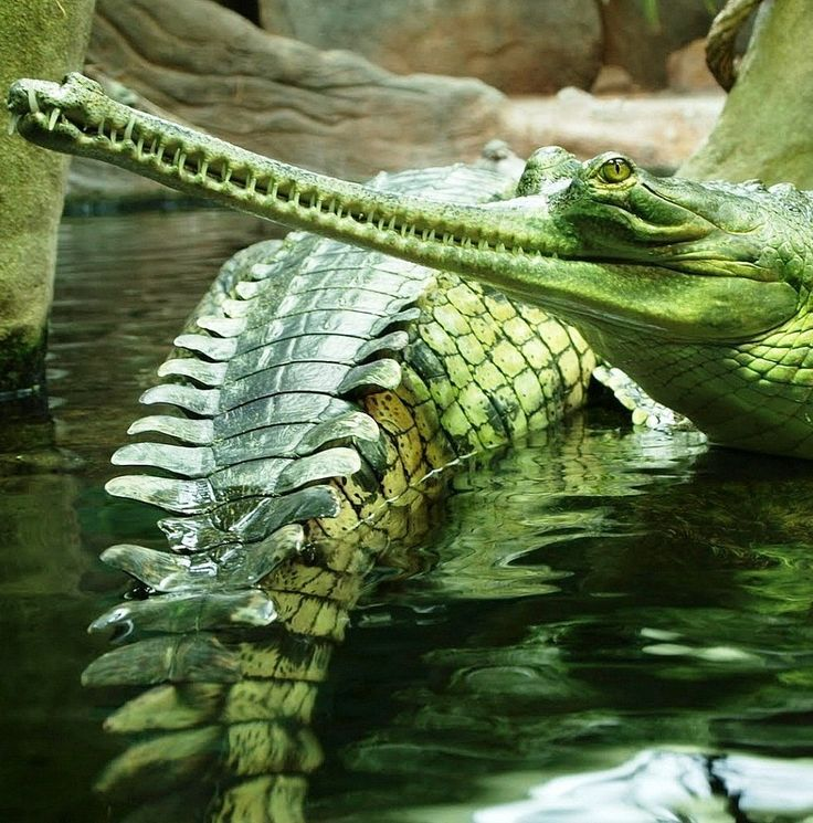 Green Crocodile; even his teeth look green