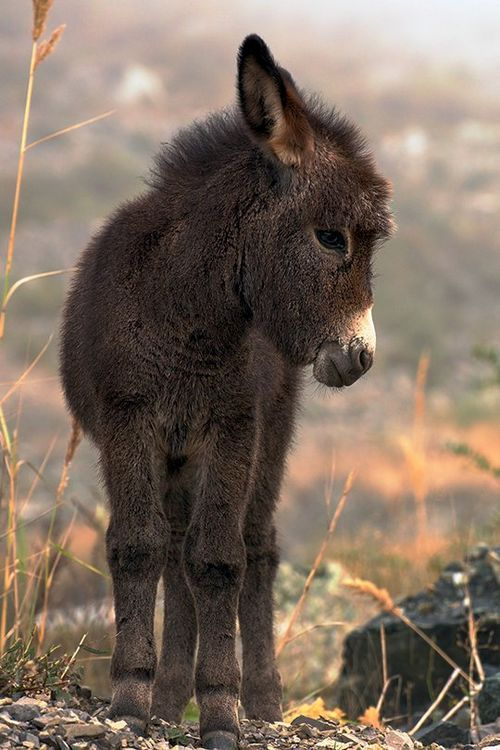 Adorable little burro with a cute fuzzy head! Sweet!