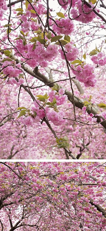 Cherry Blossoms Brooklyn Botanical Garden Brooklyn Botanical Garden Pink Flowering Trees Cherry Blossom