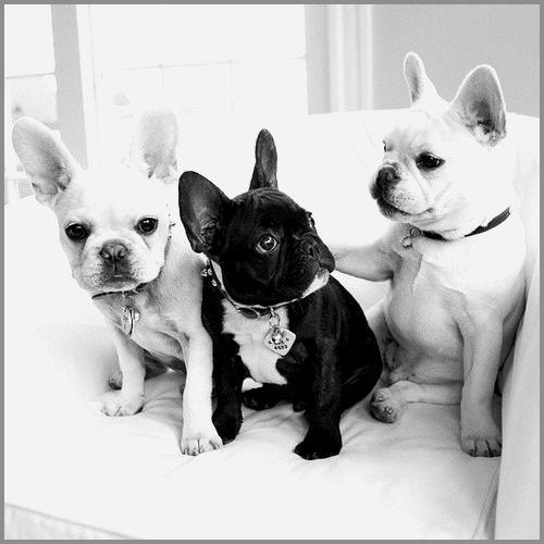 Beautiful French Bulldog Puppies Binatang Goldendoodle Bulldog