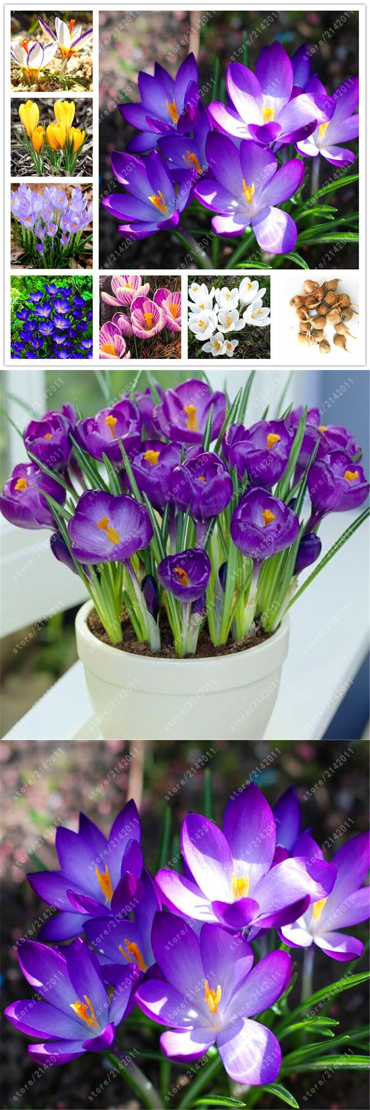 [Visit to Buy] True crocus saffron bulbs,(not saffron seeds),bonsai flower bulbs  In Bloom All Year Round potted plant - 2 bulbs #Advertisement