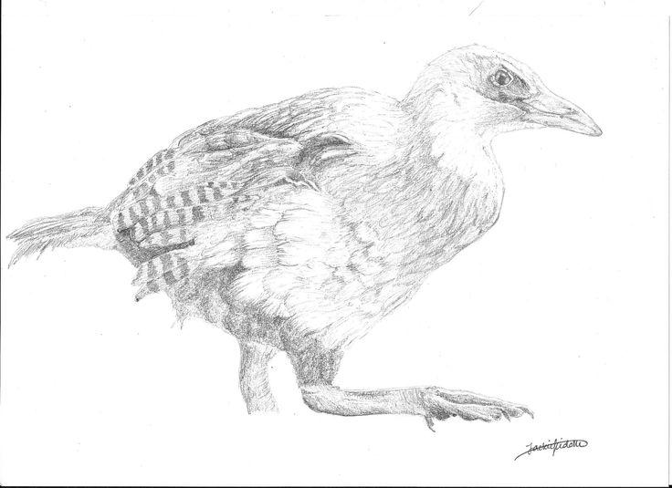 North Island Weka, Gallirallus australis