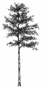 aspen tree- tat