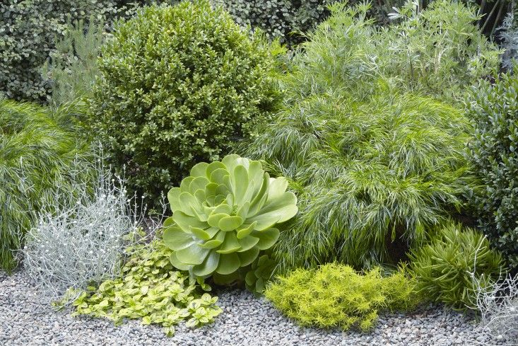 Grubb consistently turns to her low-water favorites: boxwood, acacia trees, shrubs, and pittosporum. From left are Acacia cognata 'Cousin Itt', the silvery Leucophyta brownii, Buxus 'Green Mountain', Ceanothus griseus var. horizontalis 'Diamond Heights', Aeonium 'Mint Saucer', Santolina virens 'Lemon Fizz', and Peperomia ferreyrae.